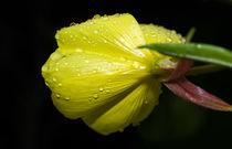 Blüte im Regen by fotolos