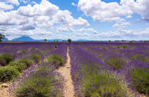 Lavendelfeld auf dem Plateau de Valensole in der Provence by Thomas Klee