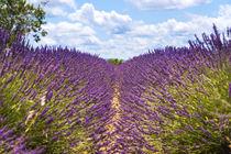 Lavendelfeld auf dem Plateau de Valensole in der Provence von Thomas Klee