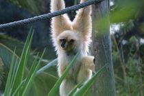 Der Gibbon von julia-go