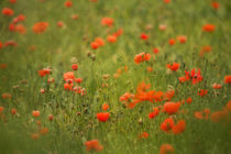Poppy Field by Wayne Molyneux