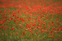In Flanders Fields by Wayne Molyneux