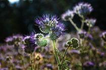 Phacelia Blüten by Claudia Evans
