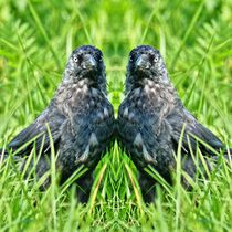 Dohlen Zwillinge by kattobello