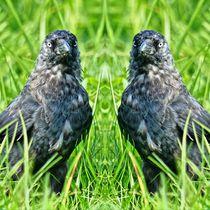 Dohlen Zwillinge 2 by kattobello