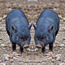 Minischweinferkel Zwillinge by kattobello