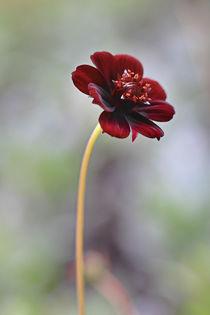 Schokoladenblume by Bernhard Kaiser