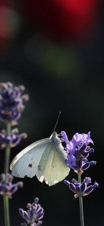 Weißer Schmetterling by Peggy Graßler