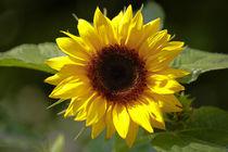 Sonnenblume von Bernhard Kaiser
