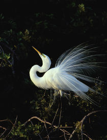 Great Egret by Maresa Pryor-Luzier