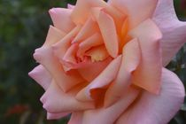 Rose by art-dellas