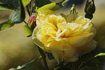 Gelbe Rose von Petra Dreiling-Schewe