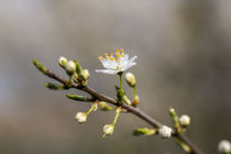 Dew-soaked Blossom von George Kay