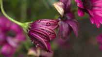 Blume mit Regentropfen von Petra Dreiling-Schewe