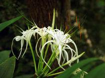 White Spyder Lily, Schönhäutchen, Schönlilie by Sabine Radtke