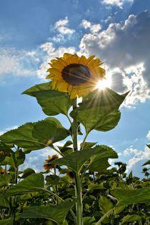 Strahlende Sonnenblume von Claudia Evans