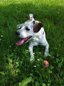 Jack Russel Terrier mit seinem Ball by assy