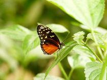Tiger-Passionsblumenfalter von maja-310