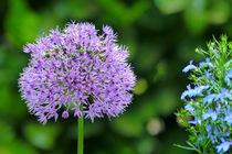 Allium meets Lobelie von maja-310