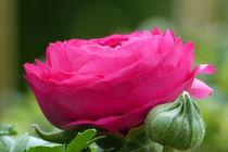 Ranunkelblüte by maja-310