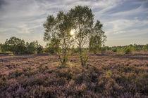 Birke in der Lüneburger Heide von Patrice von Collani