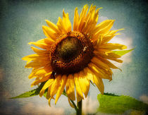 Sunflower von spokeninred