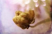 Chrysantheme mit Nachwuchs by Petra Dreiling-Schewe