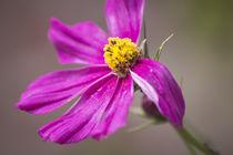 Schönheit in Pink by Petra Dreiling-Schewe