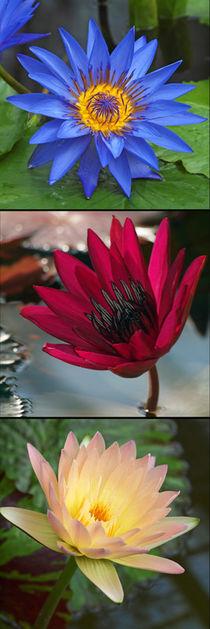 Seerosen-Blüten, nymphaea, Makrofotografie, blossoms of waterlily , macro von Dagmar Laimgruber