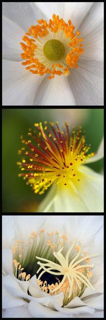 Blüten-Stempel, Makrofotografie, pistills of blossom, macro von Dagmar Laimgruber