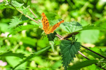 Eastern Comma Butterfly by Vincent J. Newman