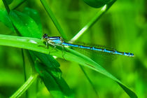 Blue Dragonfly  by Vincent J. Newman