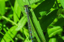 Blue Damselfly by Vincent J. Newman