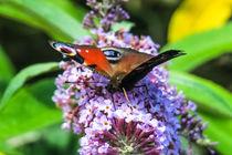 Peacock Butterfly von Vincent J. Newman
