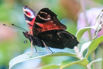 Peacock Butterfly by Vincent J. Newman
