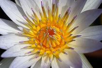 Seerosenblütenmakro by Bernhard Kaiser