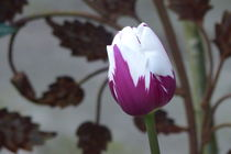 Tulip Rembrandts Favourite by maja-310
