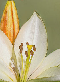 White Lily and Bud (Digital Art) von John Wain