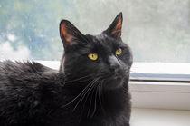 black cat by Natalia Akimova
