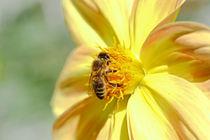 'Die Biene auf der Dahlie' von Bernhard Kaiser