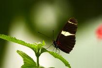 Schmetterling von maja-310
