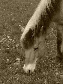 Norweger Pony von maja-310