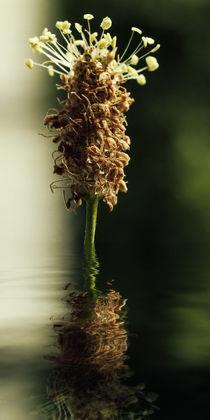 Gesundheit aus der Natur - Spitzwegerichsirup by Chris Berger