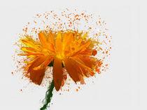 Orange calendula  by Elena Oglezneva