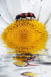 Auf schmalem Grat - Bienenwolf by Chris Berger