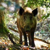 Wildschwein Kontakt von kattobello