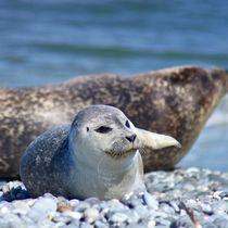 Robben Baby am Strand von Helgoland von kattobello