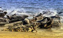 Kegelrobben auf Helgoland 2 von kattobello