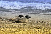Robben Paar am Nordseestrand 2 von kattobello