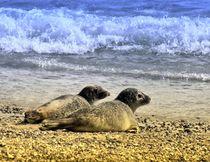 Robben Paar am Nordseestrand 1 von kattobello